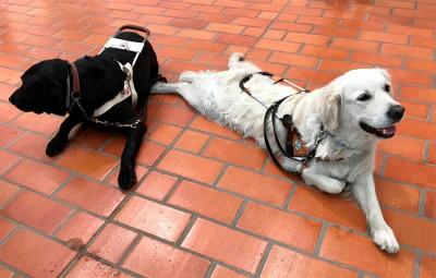 Kaksi opaskoiraa makoilee lattialla; musta labradorinnoutaja ja kultainennoutaja.